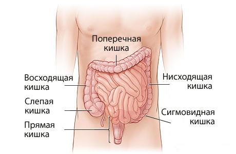схема кишечника