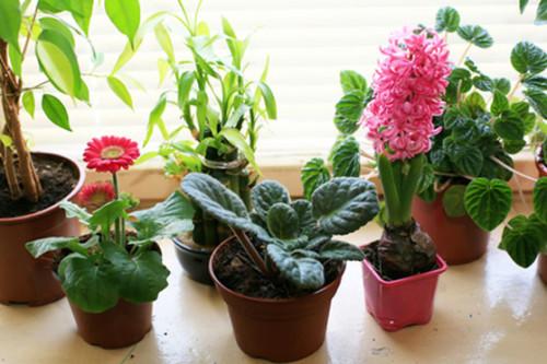 Комнатные цветы - украшение дома