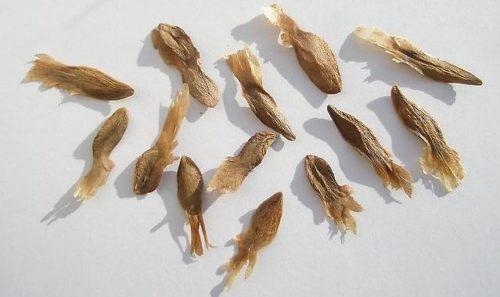 Плюмерия из семян в домашних условиях от