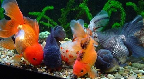 Akvarium-s-chego-nachat-razvedenie-rybok-v-domashnikh-usloviiakh-5