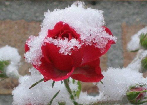 Морозостойкие сорта розы для зимовки без укрытия в северных регионах