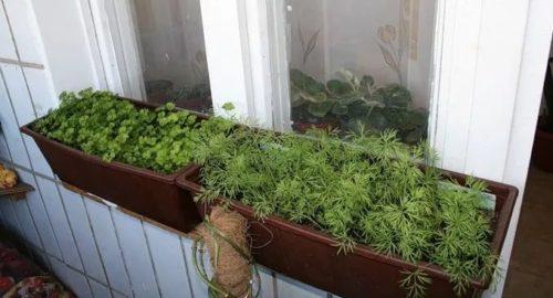 Огород на подоконнике в квартире зимой для начинающих