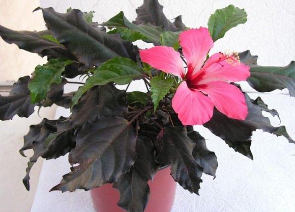 Гибискус — классический цветок для дома и сада