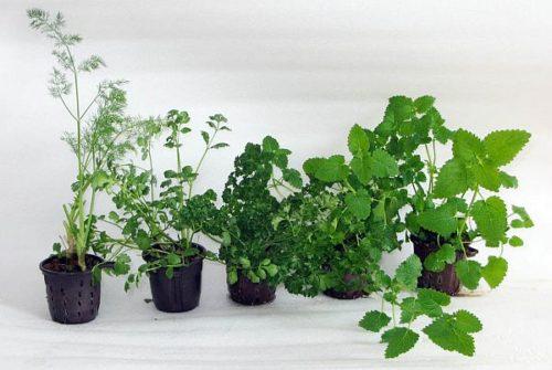 Какие травы можно выращивать зимой на подоконнике?