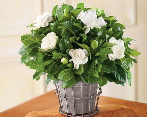 Самые ароматные комнатные цветы 152