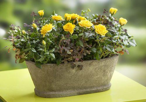 Самые ароматные комнатные цветы 154