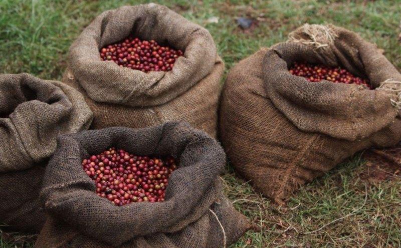 Сбор кофейного урожая